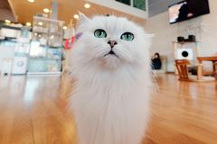 Cat looking at you. White Cat looking at you Royalty Free Stock Image