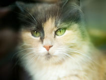 A cat looks at the camera with a three-colored wool with green eyes. Very cute and gentle pet is the concept of the Royalty Free Stock Image