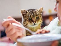 Cat looks closely at the plate with food, woman dines, cat begs. _ stock photos