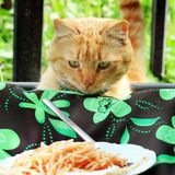 Cat looks at the food in the plate.  stock photo