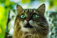 The cat looks you in the eye. The cat looks into his eyes, a cat with beautiful eyes serious Stock Photos