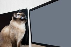 Cat looks at the monitor screen royalty free stock photos