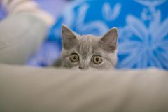 Cat looks out hiding, surprise, hunting sunlight. A cat kitten looks out of hiding, surprise, hunting, fright, sunlight, ears, green eyes, a British breed black Royalty Free Stock Photography