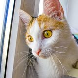 The cat looks out on the street with curiosity. Tricolor cat. royalty free stock images