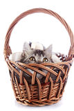The cat looks out of a wattled basket. Royalty Free Stock Photography