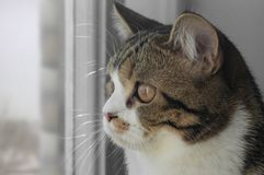 The cat looks out the window. The gray cat looking out the window Stock Photography