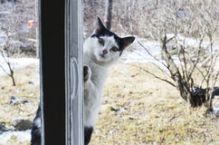 Cat looks outside the window Royalty Free Stock Photo