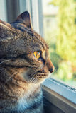 Cat looks outside from the window Stock Image