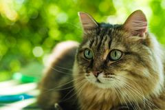 The cat looks you in the eye. The cat looks into his eyes, a cat with beautiful eyes serious Royalty Free Stock Photos