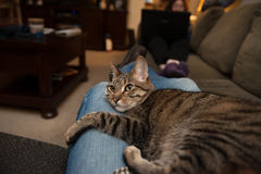 Cat lounges on blue jean lap Stock Photography