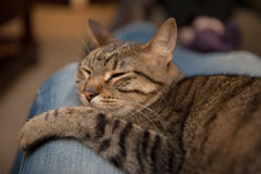 Cat lounges on blue jean lap. A tabby cat sleeps snuggled in the lap of an adult wearing blue jeans Royalty Free Stock Images