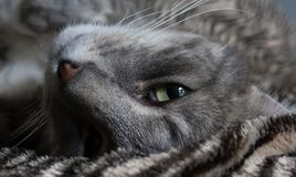A cat lounging around looking straight into camera royalty free stock image