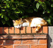 Cat lounging on a wall Royalty Free Stock Photo