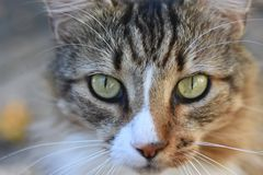 Cat lovable green eyes. Cat, pet, animal, domesticate, friend, soft, fluffy, fur, green eyes, whiskers, close up, portrait, meow, brown, white, stripes, black royalty free stock photography