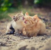 Cat love. One kitten washes the other kitten in the morning at dawn of a summer day Royalty Free Stock Photos