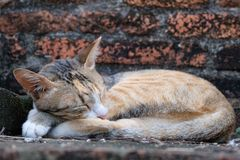Special cat with sweet dream in ancient Ayutthaya Temple stock photo