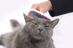 Cat loves being brushed Stock Images