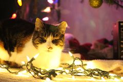 Cat Loves Christmas. Calico cat loves to sit in Christmas lights on the ground while the lights are on Royalty Free Stock Photography