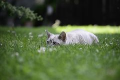 Cat. Lurking in the grass on his prey mouse Royalty Free Stock Photography