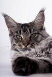 Cat lying Royalty Free Stock Image
