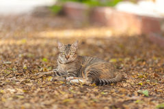 Cat lying  in autumn park. Tomcat Day in the Park Stock Images