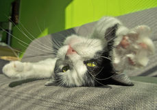 Cat lying on back Royalty Free Stock Photography