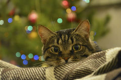 Cat lying on a background of colored lights, bokeh. Stock Image