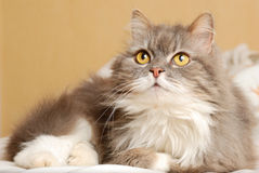 Cat is lying on bed Royalty Free Stock Images