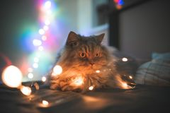 Cat lying on a bed in beautiful bokeh. Fluffy beautiful cat lays on a bed on the background of Christmas lights. Gray adult cat lying on a bed in beautiful bokeh royalty free stock images