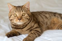 Cat lying on bed Royalty Free Stock Photos