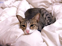 Cat lying on bed cover Stock Images