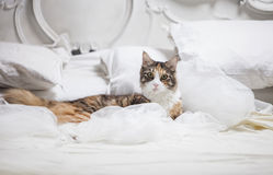 Cat lying on a bed Royalty Free Stock Image