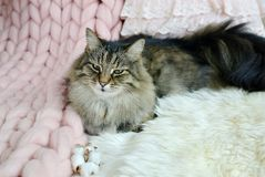 Cat Lying on Bed Giant Plaid Blanket Fur Bedroom. Winter Vibes Cosiness Relax stock photography