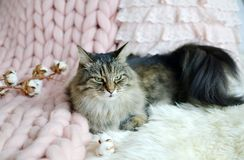 Cat Lying on Bed Giant Plaid Blanket Fur Bedroom, Winter Vibe,s. Cosiness, Relax royalty free stock images