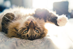 Cat lying on bed Royalty Free Stock Image