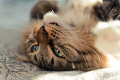 Cat lying on bed Royalty Free Stock Images