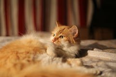 Cat lying in bed Royalty Free Stock Photo