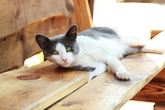 Cat is lying on a bench. Big cat is lying on a bench Stock Images