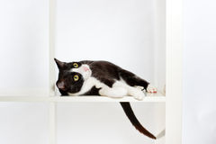 Cat lying in bookshelf Royalty Free Stock Image