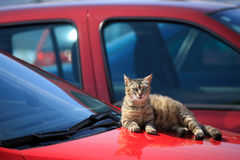 Cat lying on red car Royalty Free Stock Photo