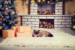 Cat lying on the carpet on the eve of Christmas Stock Photos