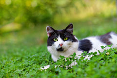 Cat lying in clover. Black and white cat lying in clover stock images