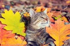Cat lying in on the colorful leaves Stock Images