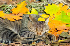 Cat lying in on the colorful leaves Royalty Free Stock Image