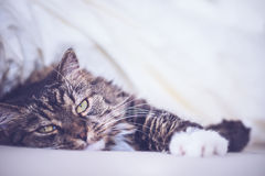Cat is lying comfortably in bed and looking at the camera Stock Images