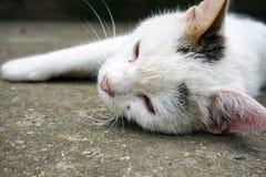 Cat lying. Domestic white cat lying on concrete Royalty Free Stock Photo