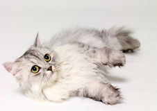 A cat lying down Royalty Free Stock Images