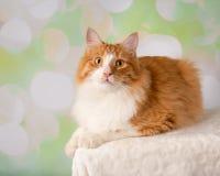 Cat Lying Down orange et blanche photo stock