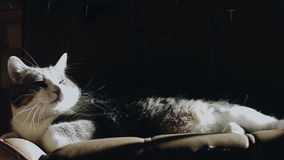 Cat Lying en un sofá que pierde sus pelos cuando alguien viene adularlo almacen de video