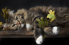 Cat lying with Fall Leaves Stock Image